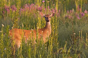 white-tailed_deer_larry_ditto_mg7619