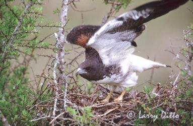 white-tailed_hawk_Larry_Ditto