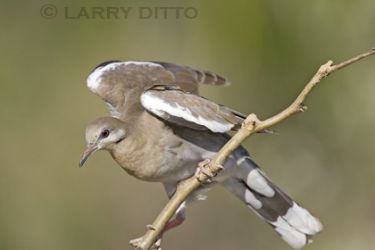 white-winged_dove_4_Larry_Ditto