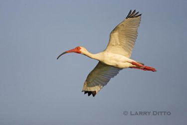 white_ibis_x0z