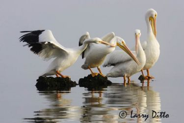 white_pelican_larry_ditto_x