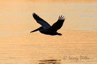 Brown Pelican skimming over water, winter, sunset, Texas coast