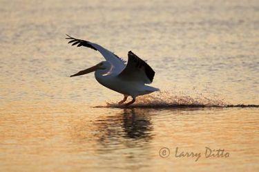 White Pelican (Pelecanus erythrorhynchos) landing, Texas coast, winter, sunset