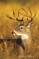 whitetail-buck-in-grasslrd_larry_ditto