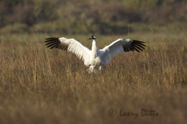 whooping-crane_larry_ditto_x0z10