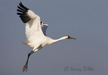 whooping_cranes_larry_ditto_x0z1856