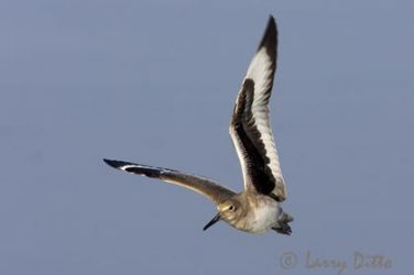 willet_larry_ditto_x0z3440