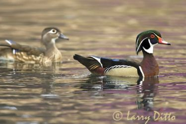wood-ducklarry-dittox0z69