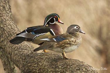 wood-duckslarry-dittox0z7