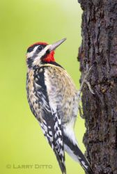 yellow-bellied_sapsucker_Larry_Ditto