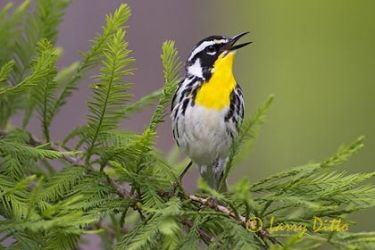 Yellow-throated Warbler (Dendroica dominica) male, spring, northeast Texas