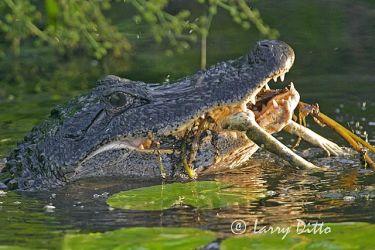 Alligator,_American_1_Larry_Ditto