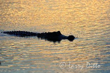 American Alligator (Aligator mississipiensis) swimming at dusk, mid-Texas coast