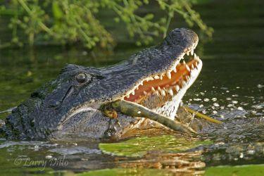 Alligator_Larry_Ditto_1629