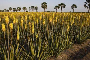 Hilltop Gardens aloe fields and palm trees near Harlingen, Texas