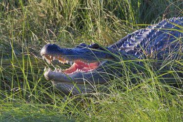 American_Alligator_51U2627