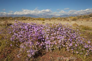Asters_MG_0741