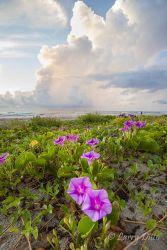 Beach Morning Glory on South Padre Island at sunrise