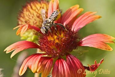 Bee_Pollinating_Flower_Larry_Ditto_MG_1363~0