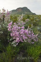 Cenizo in bloom, Big Bend National Park, Texas, July