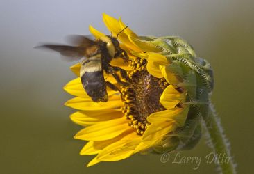 Bumble_Bee_Larry_Ditto_MG_3064
