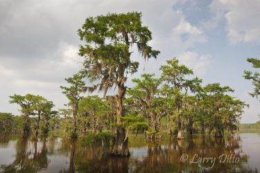 Cypress trees and Spanish moss in Caddo Lake, Texas