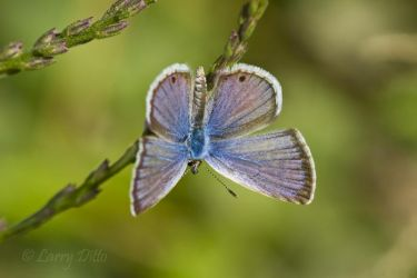 Ceraunus Blue butterfly at NABA Park, Mission, Texas