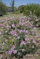 native flora at the Chichuhuan Desert Nature Center, Fort Davis, Texas