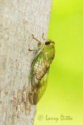 Cicada (Cicada order) just after shedding old exoskeleton, s. Texas