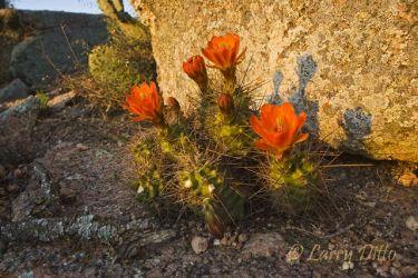 Claret_Cup_Cactus_Larry_Ditto_x0z4284