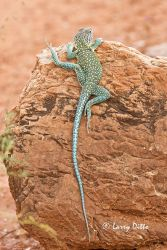 Collared_Lizard_Larry_Ditto_70K7571