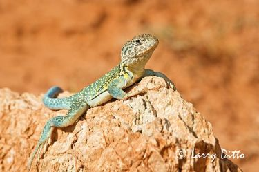 Collared_Lizard_Larry_Ditto_70K7619
