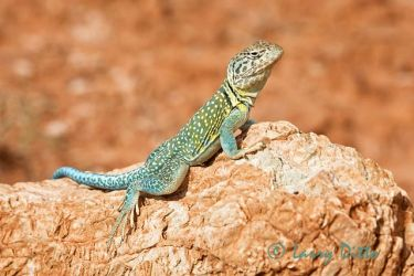 Collared_Lizard_Larry_Ditto_70K7631