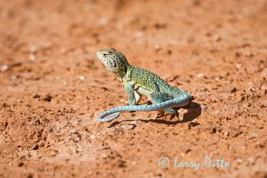 Collared_Lizard_Larry_Ditto_70K7677