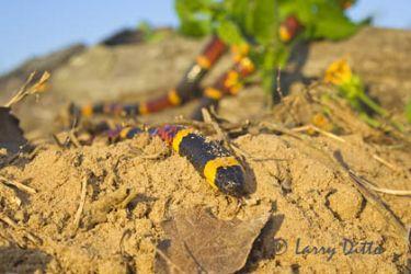 Coral Snake_x0z7194