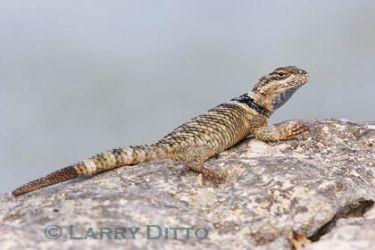 Crevice Spiny Lizard (Sceloporus cyanogenys) sunning on rock, fall, central Texas