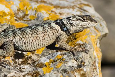 Crevise Spiny Lizard