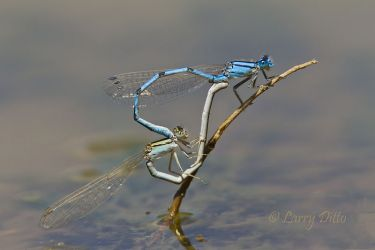 Damselflies_Mating_Larry_Ditto_MG_4491