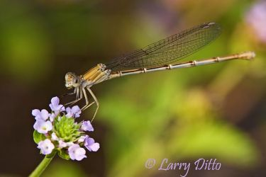 Damselfly_Larry_Ditto_MG_1244~1