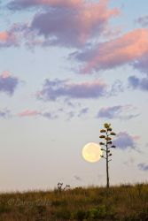 Full moon and agave