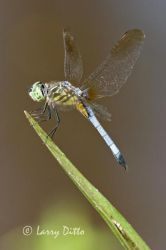 Dragonfly,_Blue_Dasher__Larry_DittoCRW_2436