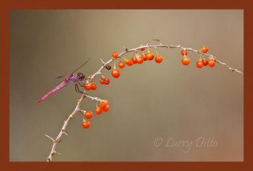 Dragonfly at Gwin Ranch
