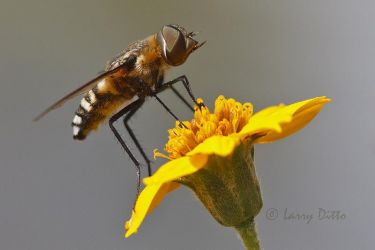 Fly_Larry_Ditto_MG_5589