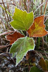 Frost_on_Sycamore_Leaves_Larry_Ditto_70K7468