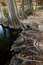 Cypress on the Frio River at Garner State Park, Leakey, Texas