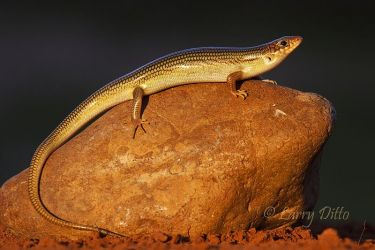Great_Plains_Skink_Larry_Ditto_MG_0526