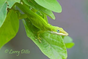 Green_Anole_Larry_Ditto_70K6052