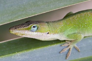Green_Anole_Larry_Ditto_MG_8882