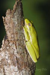 Green Tree Frog_70K0735.jpg
