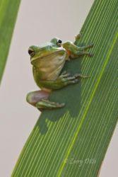 Green Tree Frog on Palmetto, Gonzalez, Texas
